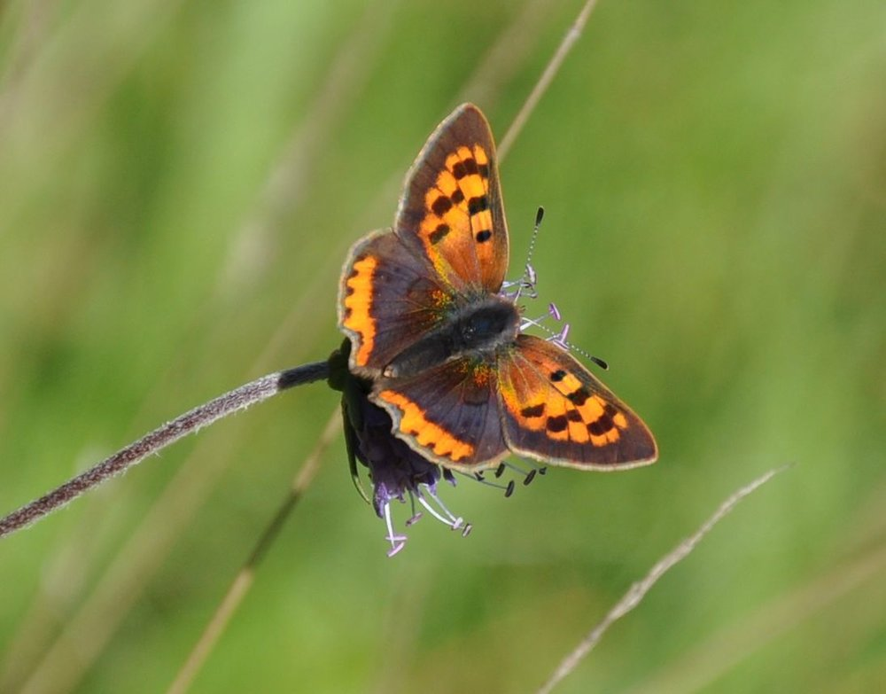 Small Copper on Devils Bit Scabious.jpg