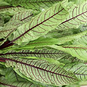 european-salad-company-red-sorrel.jpg