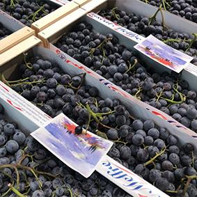 esc-muscat-grapes.jpg