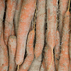 Sand carrots