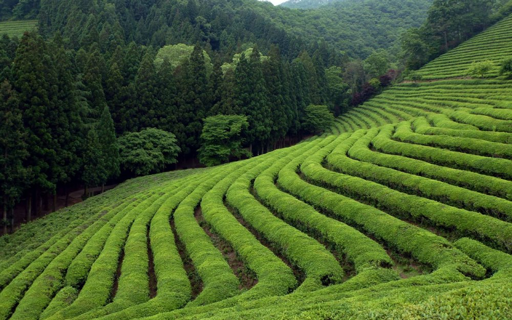 ws_Tea_Field_1920x1200.jpg