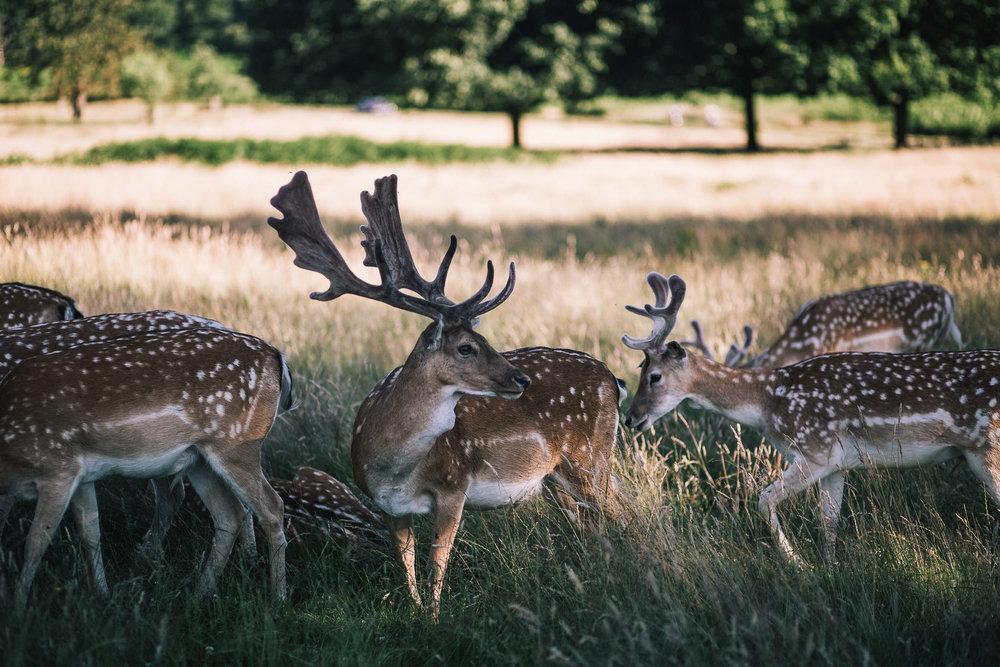 multiple deer in richmond park london england