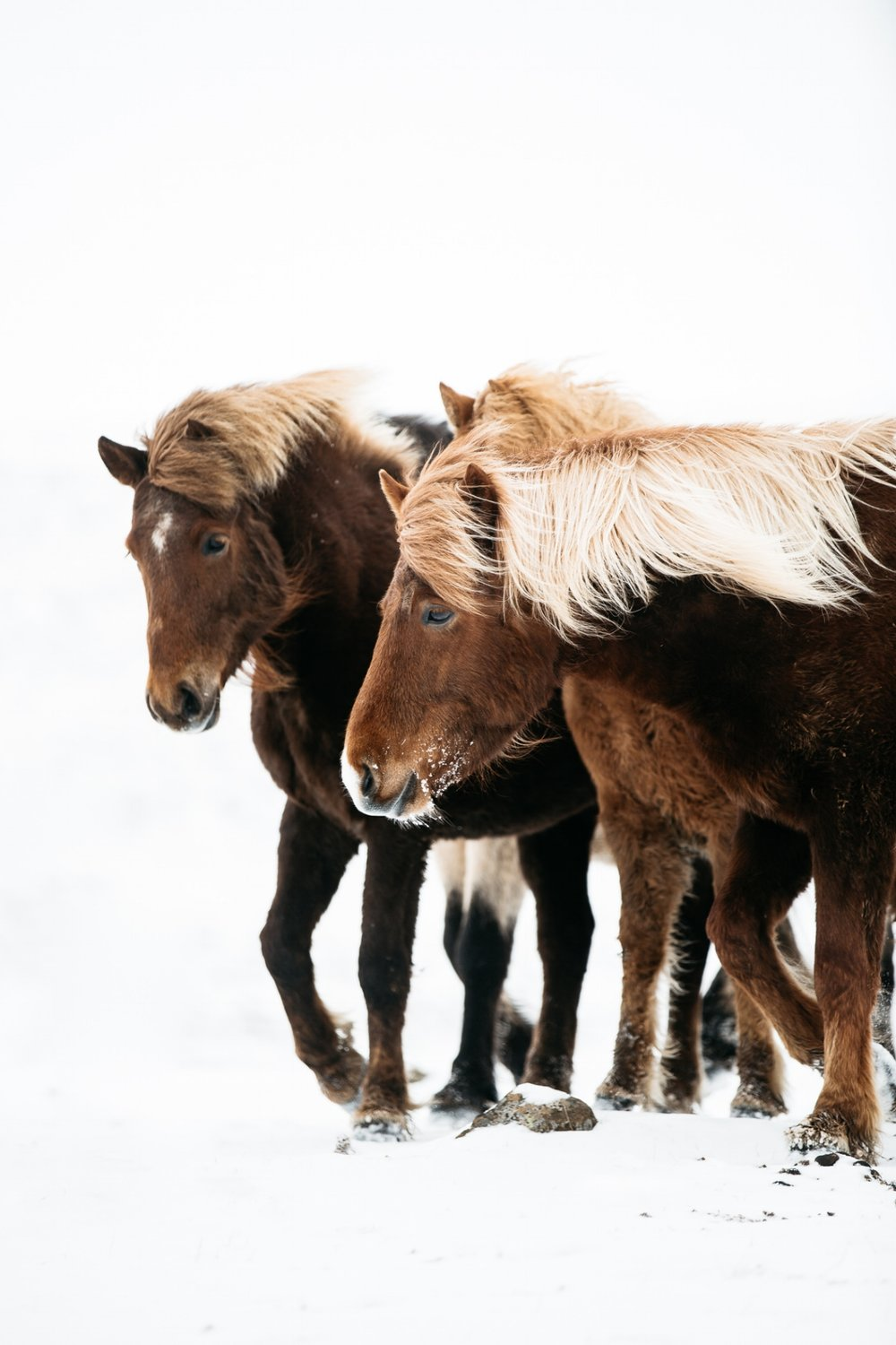 Two icelandic horses in the snow in iceland