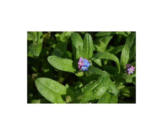 Wild forget-me-not ▪ Dewdrop souvenir from French Brittany.  #frenchbrittany #dew #myosotis #forgetmenot #wildflowers #evasion #fleursauvage #eastertime #loindelavieparisienne #awayfromurbanlife #petitjeanparis #petitjeanstories #countryside #beach #seaweed #escape #freshair #naturemakesmehappy #qualitytime #essential #flowerandpoetry #sérénité #thefrenchway #braincleaning #design  #designer #bretagne  #green #greenery  #revitalizing