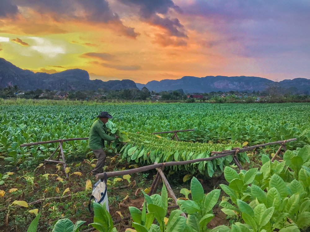 A tobacco farmer gathers crops in Vinales, Cuba