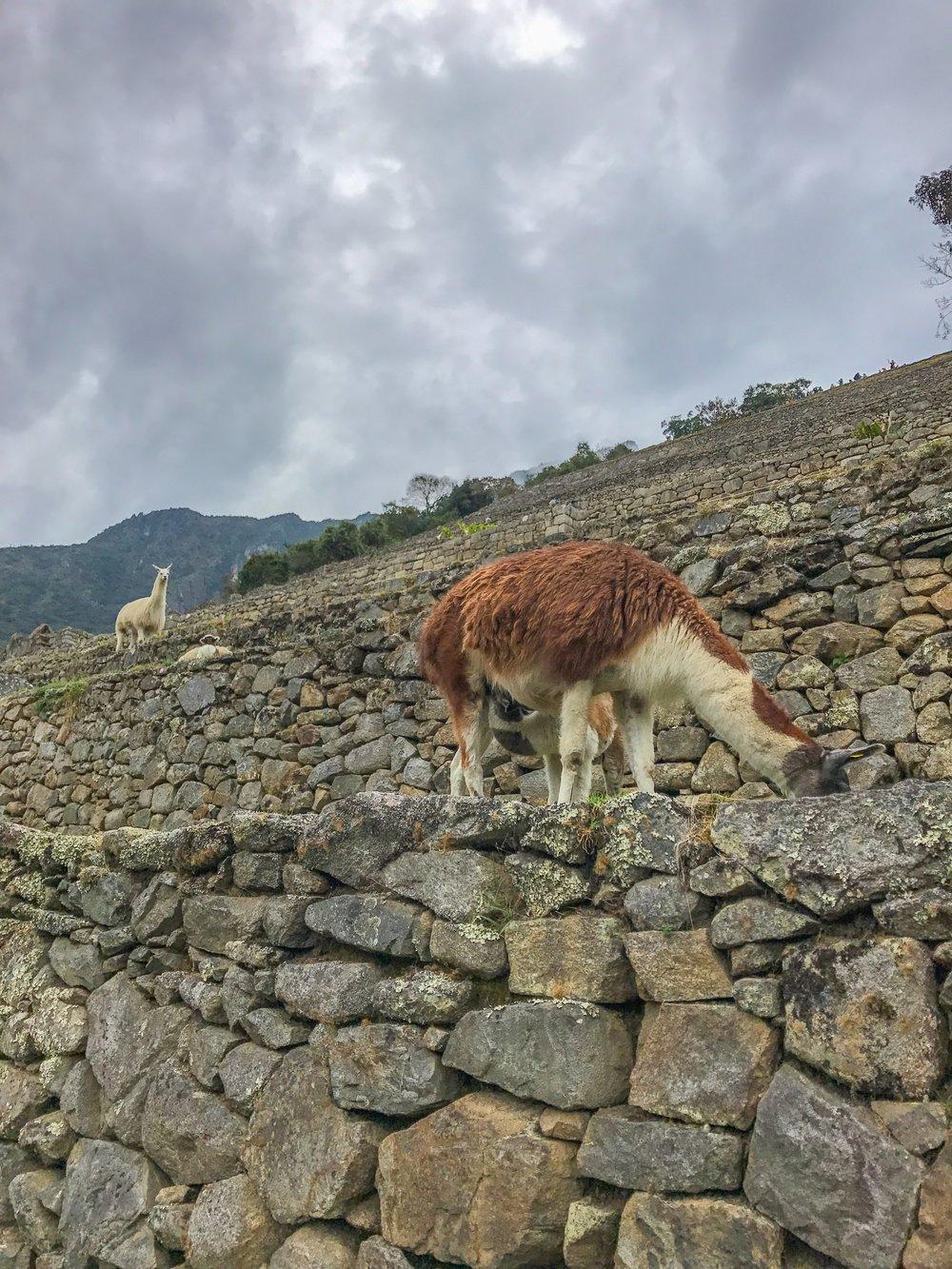 The famous Machu Picchu llamas