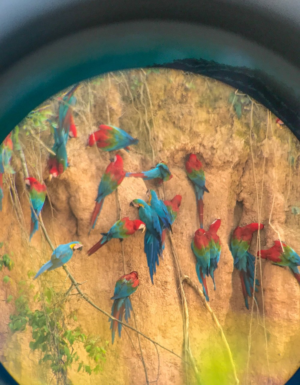 Viewing the daily morning macaw's feast through binoculars
