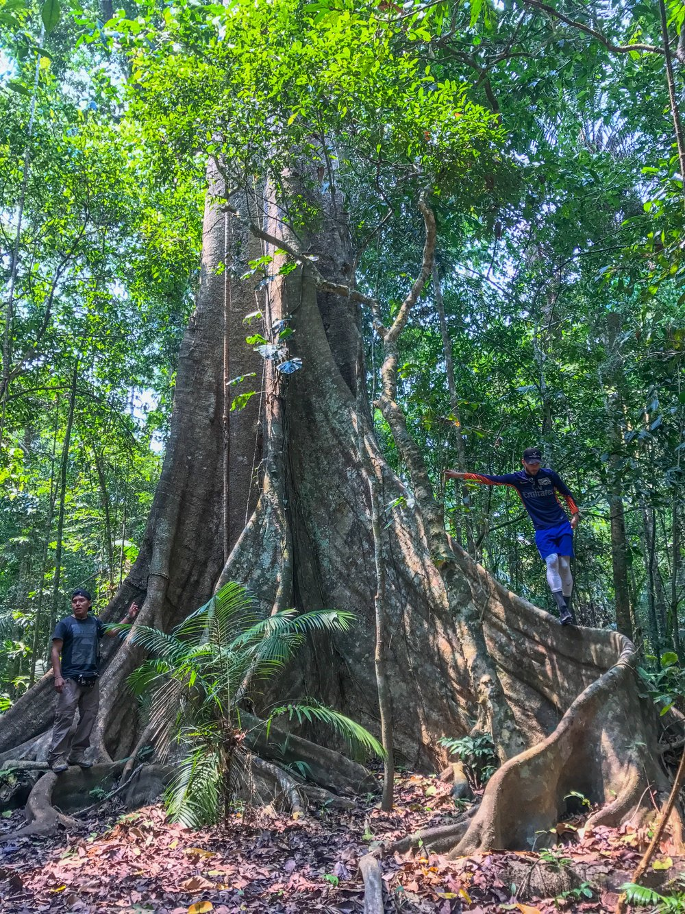 Huge trees all through Puerto Maldonado's jungle