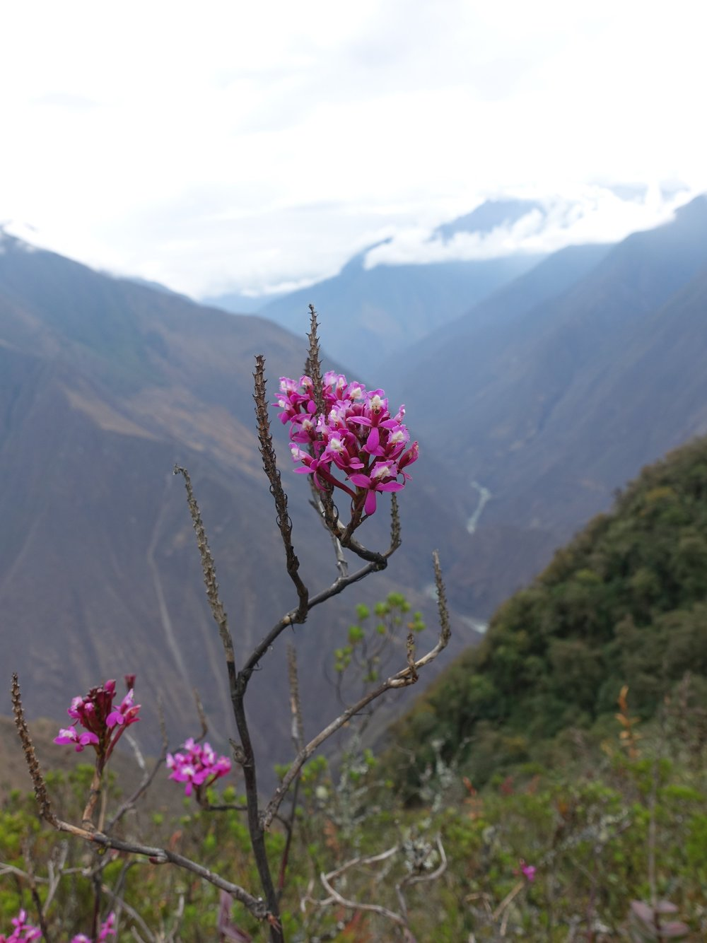 Wild flowers in the Andes Mountains