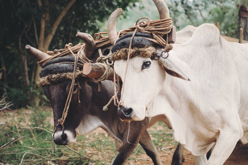 Work animals remain commonplace in Cuban farming