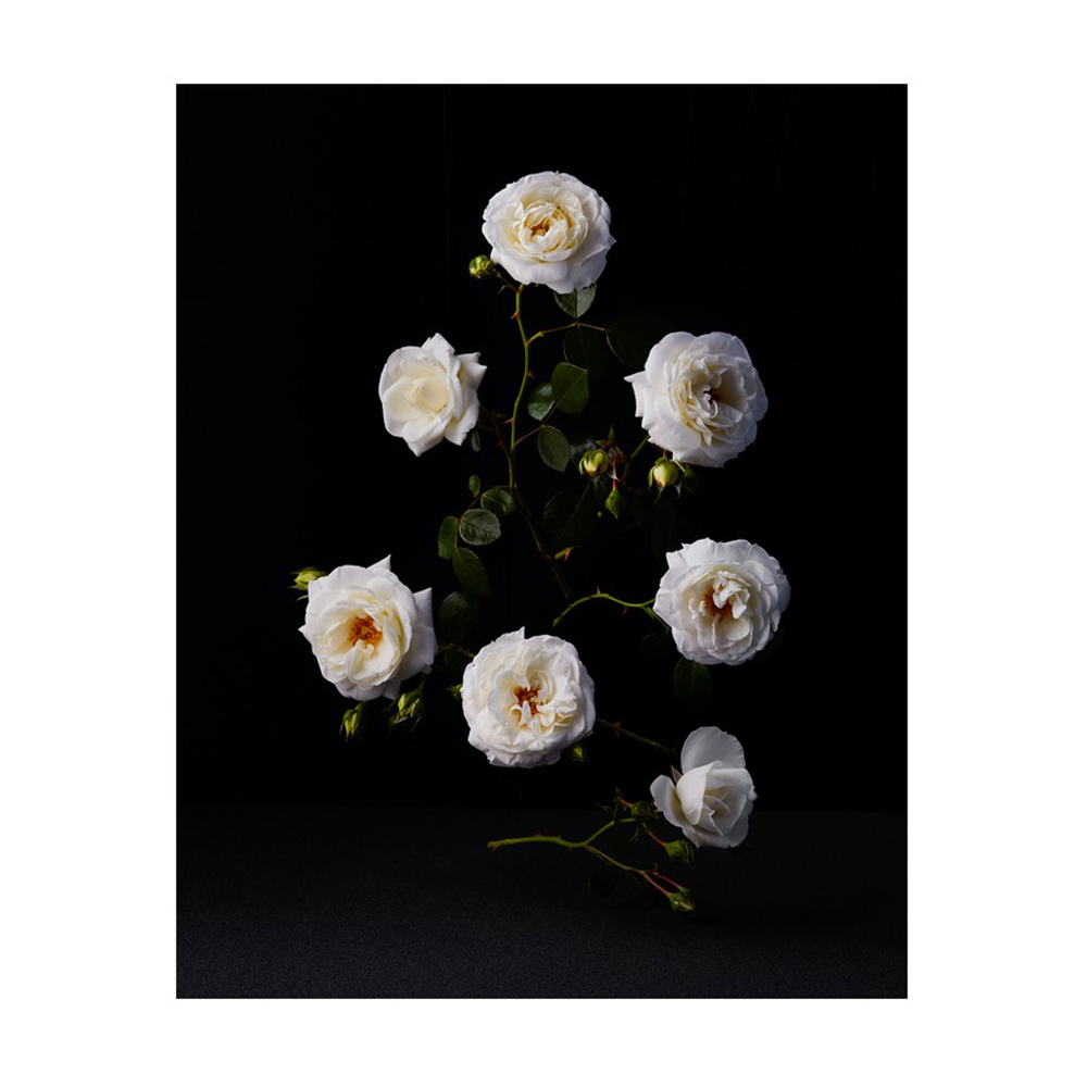 White Roses by Dustin Halleck