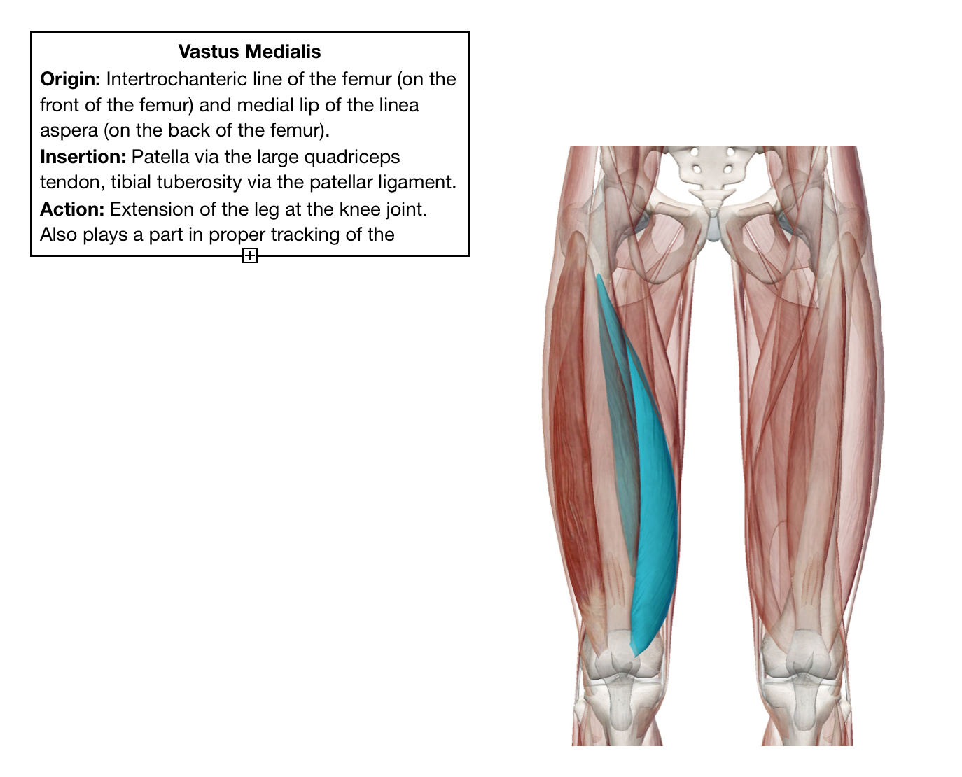 Meet Your Muscles Quadriceps Right To Roam