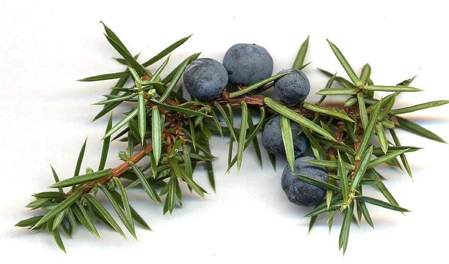 Juniperus diplome gin.jpg