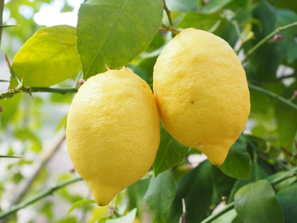 lemon diplome gin.jpg