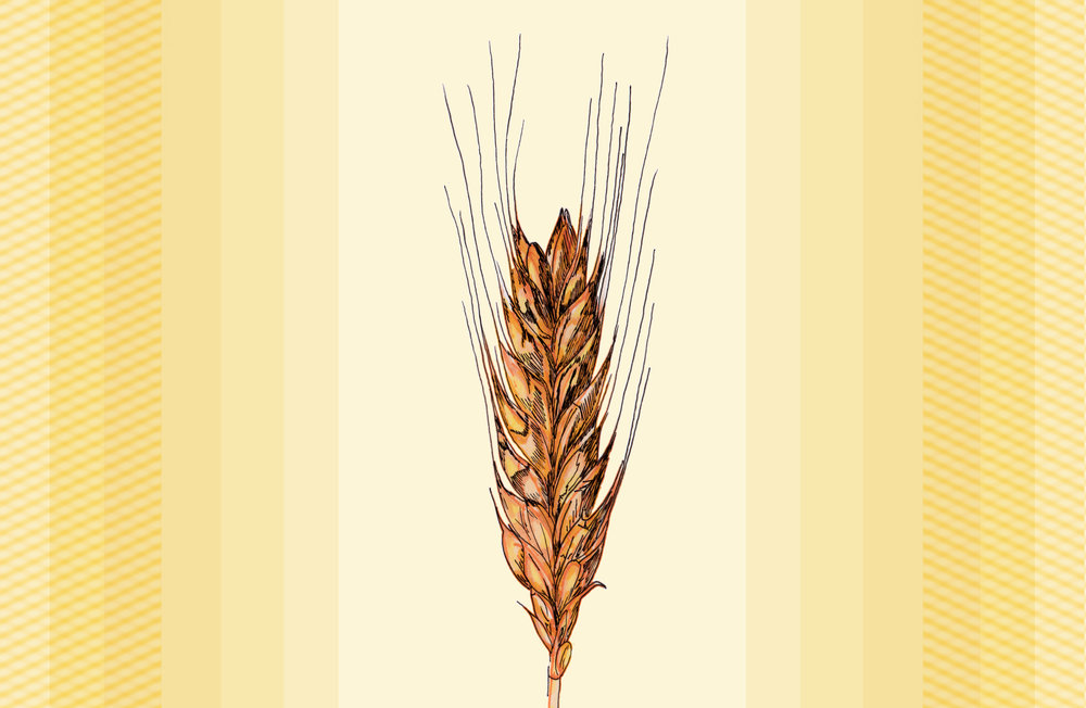 Ear of Wheat.jpg