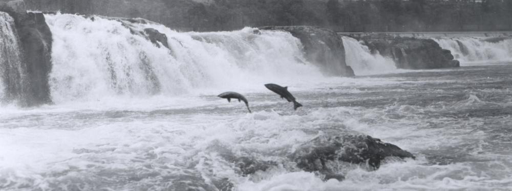 NOAA_FishWillamette1950.png