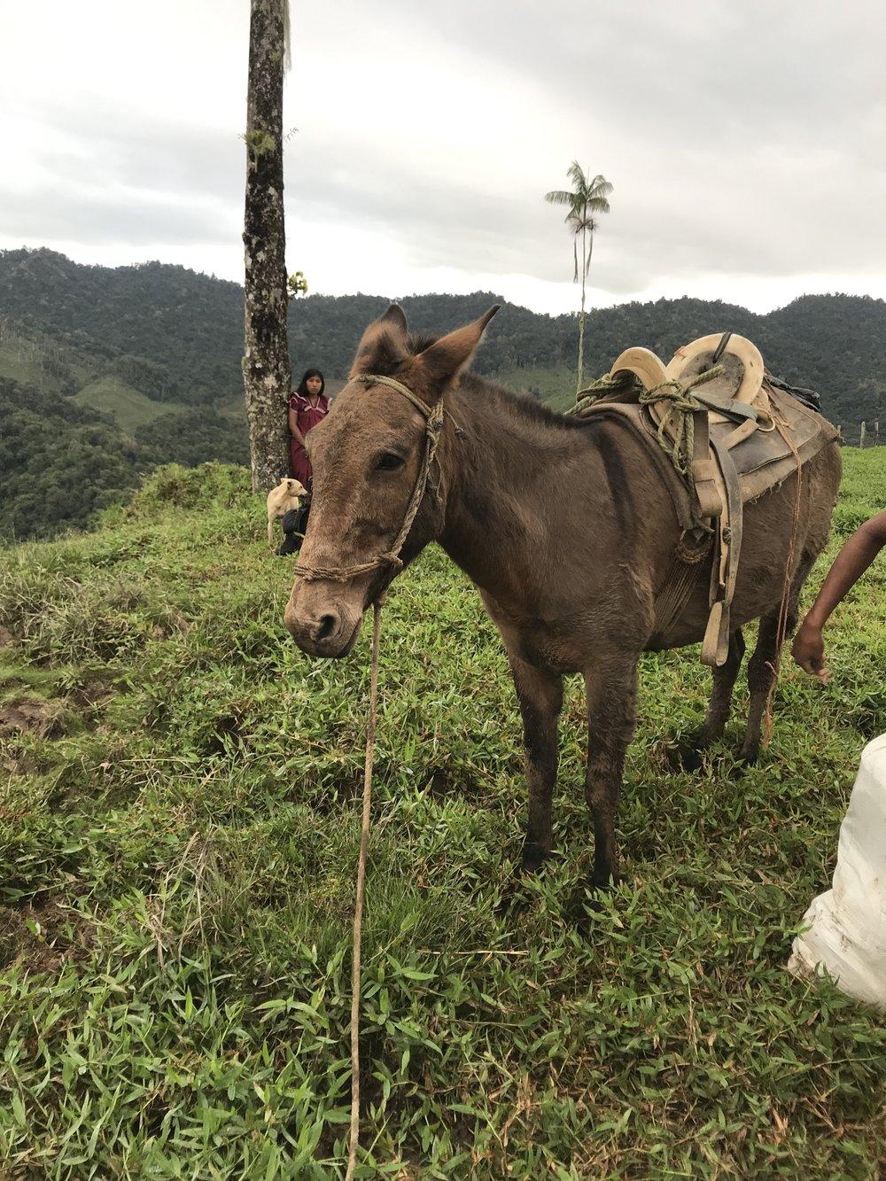 Poor mule guy