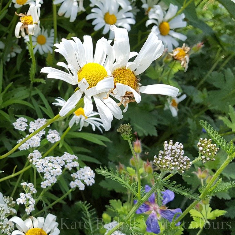 Daisies at Marlay (Copy).jpg