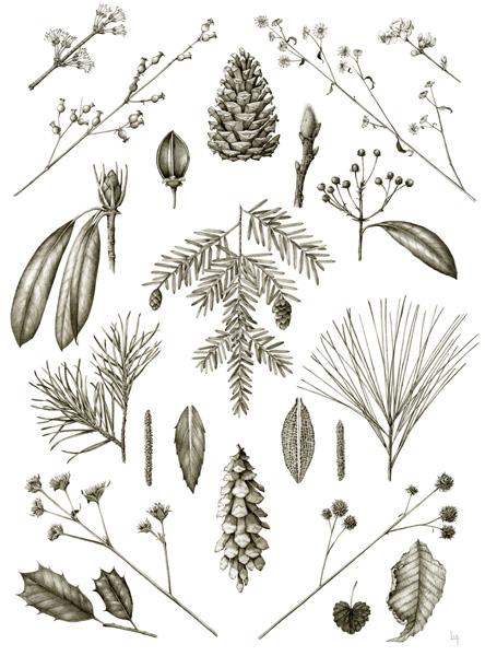 February   Acer rubrum, Rhexia virginica, Pinus rigida, Eurybia divaricata, Lonicera fragrantissima, Rhododendron maximum, Pawlownia tomentosa, Magnolia stellata, Kalmia latifolia, Tsuga canadensis, Pinus virginiana, Corylus americana, Chimaphila maculata, Goodyera pubescens, Alnus serrulata, Pinus strobus, Elephantopus carolinianus, Verbesina alternifolia, Ilex opaca, Glechoma hederacea, Fagus grandifolia