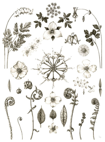 April   Dicentra cucullaria, Zizia aptera, Trillium grandiflorum, Aquilegia canadensis, Thalictrum thalictroides, Dicentra exima, Erigeron pulchellus, Podophyllum peltatum, Rhododendron periclymenoides, Stylophorum diphyllum, Asimina triloba, Phlox divaricata, Polystichum acrostichoides, Adiantum pedatum, Dryopteris marginalis, Cornus florida, Chrysogonum virginianum, Erythronium americanum, Osmundastrum cinnamomeum, Onoclea sensibilis, Matteuccia struthiopteris