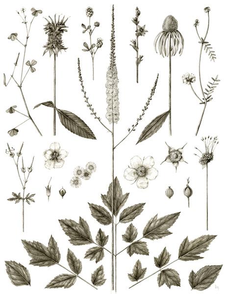 June   Oxalis stricta, Monarda didyma, Trifolium arvense, Actaea racemosa, Triodanis perfoliata, Echinacea purpurea, Securigera varia, Geranium maculatum, Verbascum blattaria, Erigeron annuus, Rubus odoratus, Allium vineale