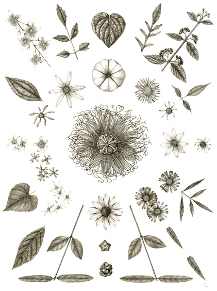 September   Clematis virginiana, Ipomoea pandurata, Centaurea stoebe, Callicarpa americana, Helianthus divaricatus, Bidens frondosa, Verbesina alternifolia, Verbesina occidentalis, Passiflora incarnata, Bidens aristosa, Symphyotrichum cordifolium, Eurybia divaricata, Euonymus americanus, Rudbeckia hirta, Symphyotrichum novae-angliae