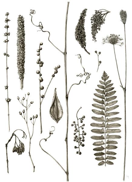 December   Symphoricarpos orbiculatus, Verbascum thapsus, Ilex verticillata, Vitis labrusca, Rhus glabra, Rhus copallinum, Daucus carota, Ludwigia alternifolia, Rosa multiflora, Asclepias syriaca, Polystichum acrostichoides, Viburnum prunifolium