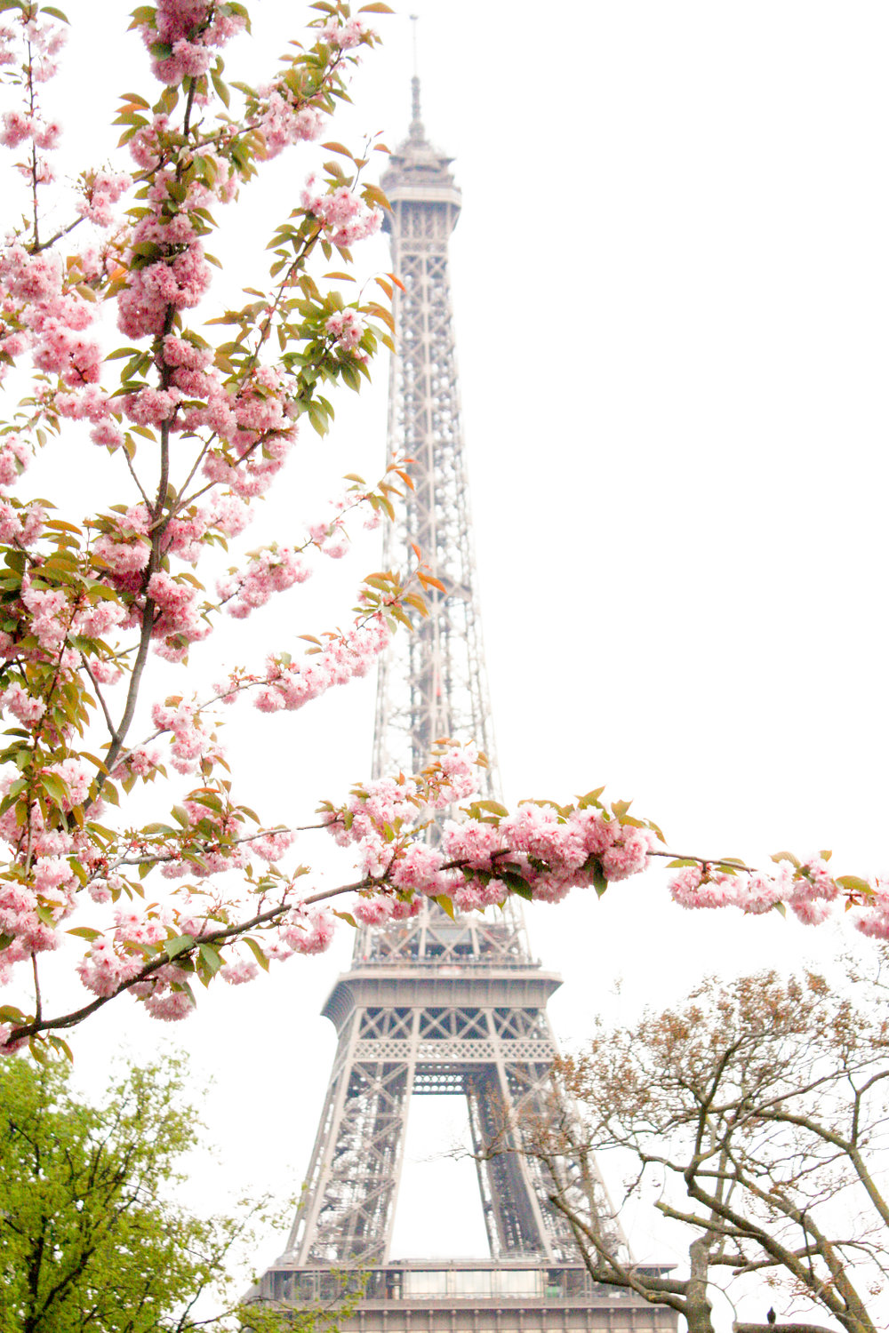 Eiffel tower covered in Cherry Blossoms
