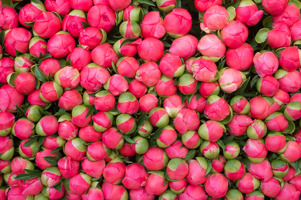 paris pink peonies by rebeccaplotnick