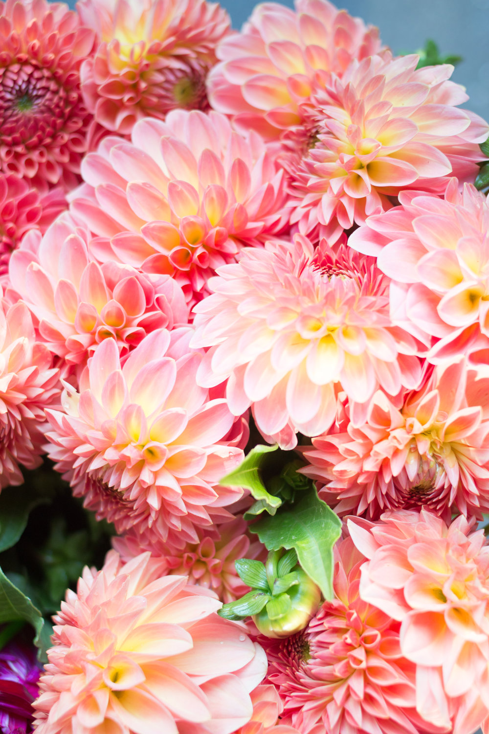 pink dahlias at the bastille market paris
