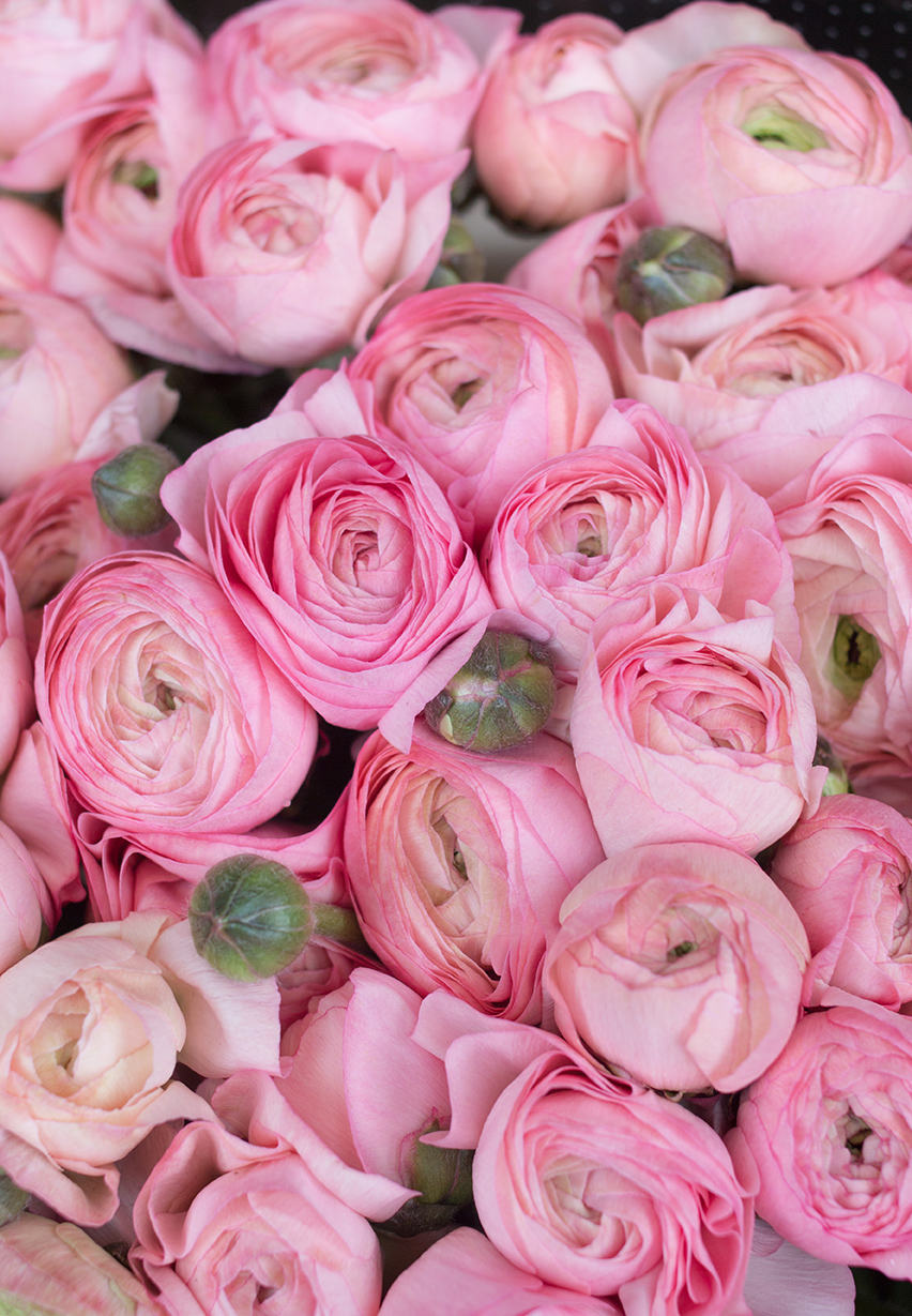 pink ranunculus flowers paris