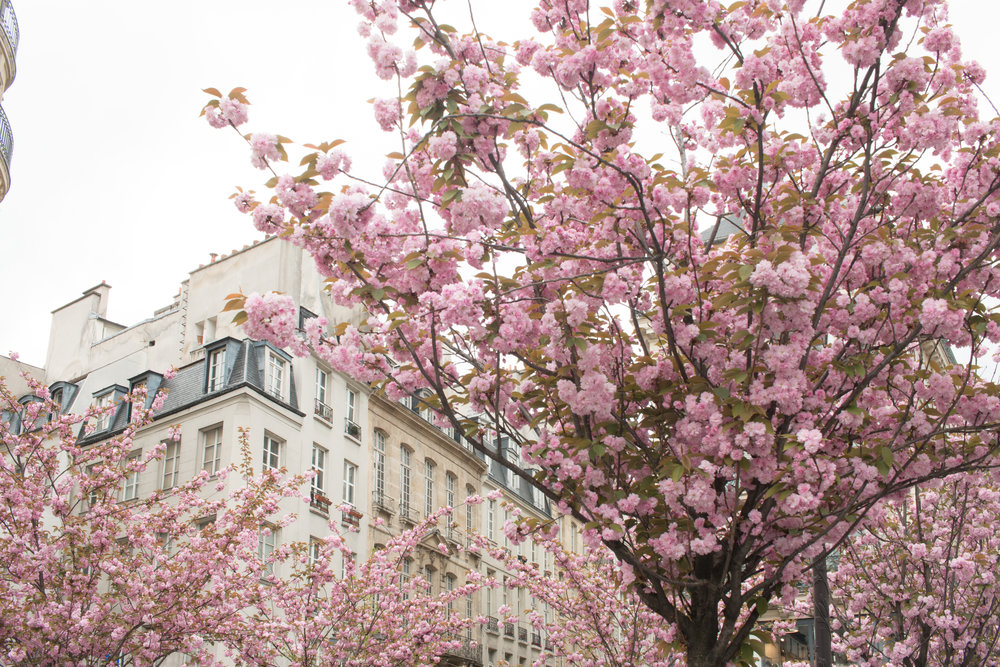 cherry blossoms paris france