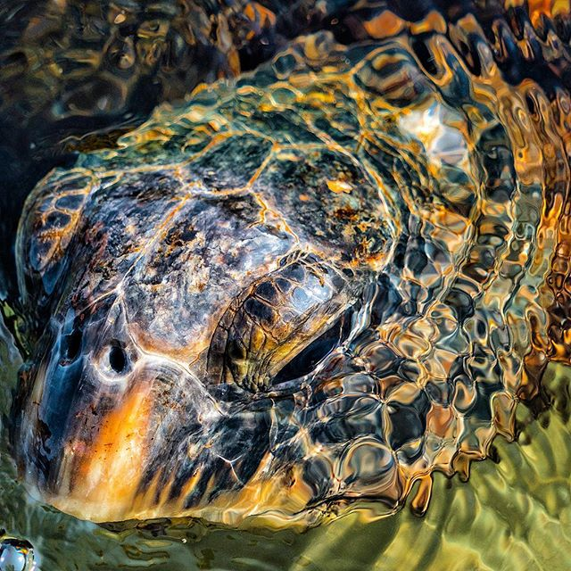 No other tour will provide you the quality turtle experience I can 100% guarantee.  Al🐢ha #alohaturtletours #turtleseveryday #honu #beauty #hawaii