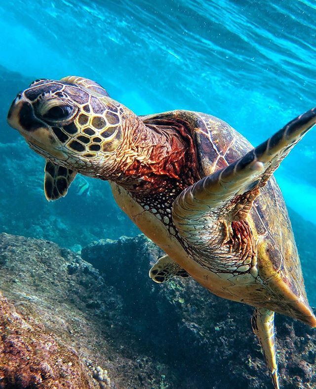 Happy Al🐢ha Friday!  #alohaturtletours #hawaii #bestturtletourshandsdown!