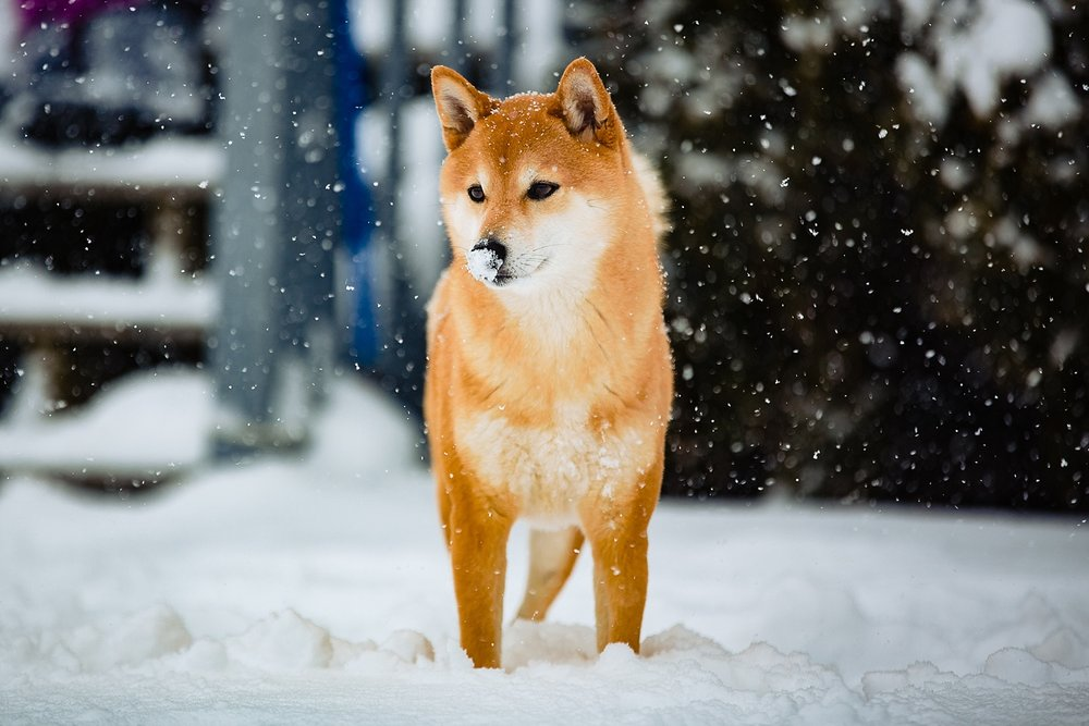 Shiba Inu Dog Berks County Pet Photographer Snow