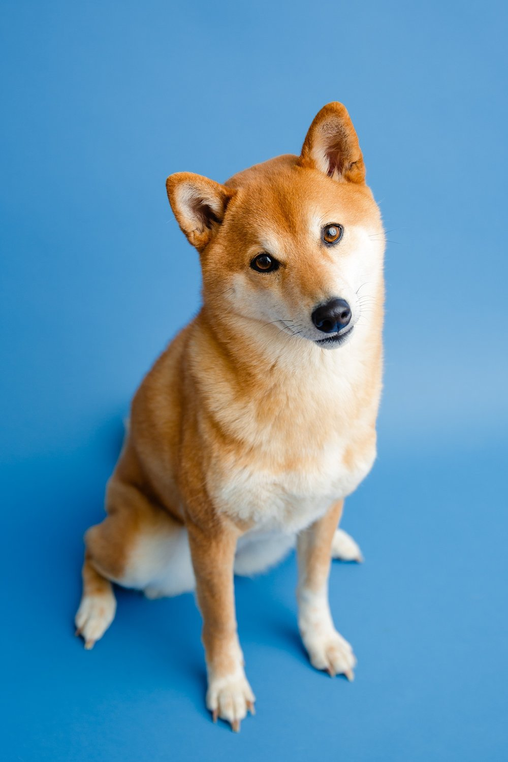 Berks County Shiba Inu Dog Pet Photographer