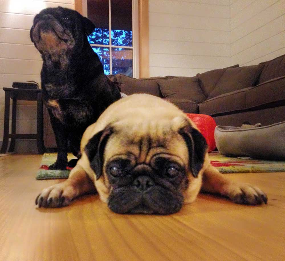 Pugs rule!