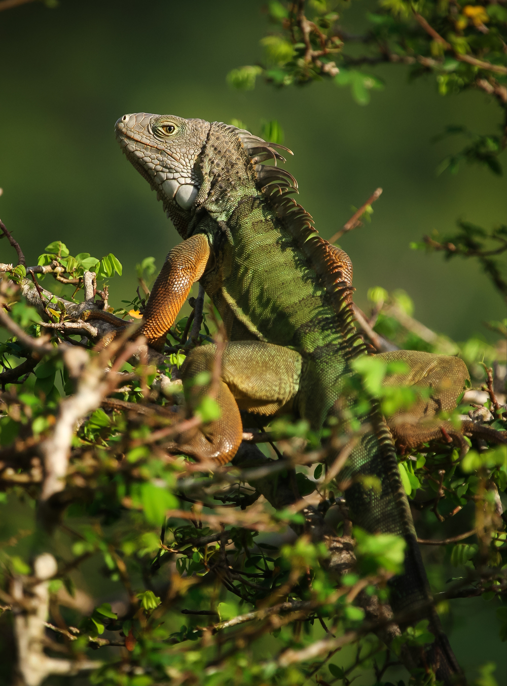 Green Iguana in Puerto Rico. PC:  Matthew Sileo