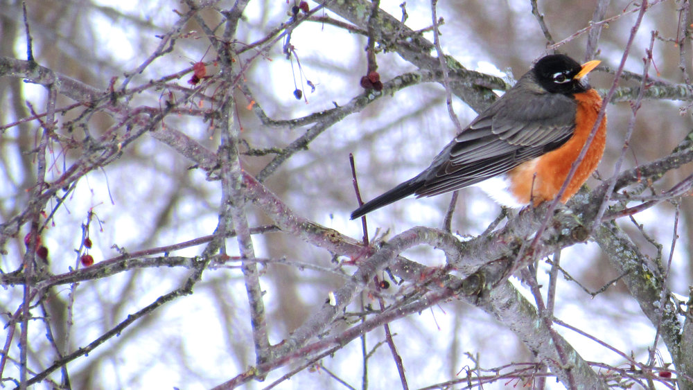 Robin | Bird, Nature, Winter, Ohio, Cute