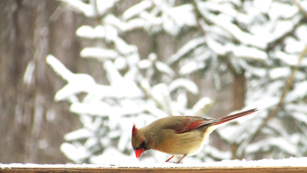 Beautiful Cardinal | Lady Bird | Winter Snow in Ohio | Photography, Nature, Inspiration