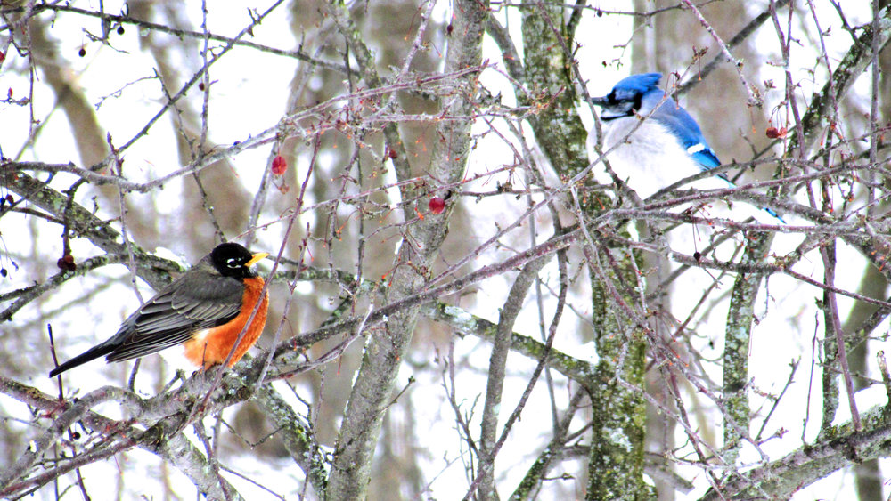 Robin and Blue Jay, Winter, Ohio, Nature, Peace to the People, Inspiration