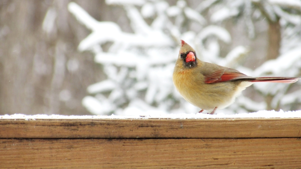 Ohio State Bird | Female Cardinal | Ohio Winter, Nature, Birds, Snow, Cute