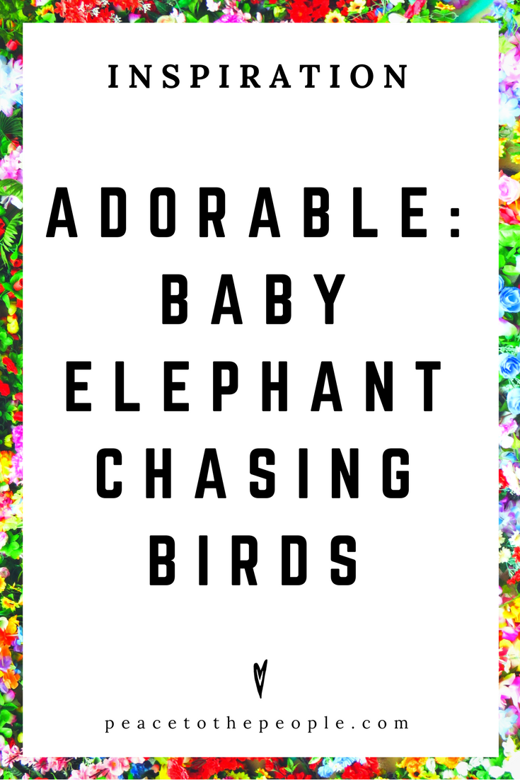 Adorable • Inspiration • Baby Elephant Chasing Birds • Cute • Animals • Peace to the People