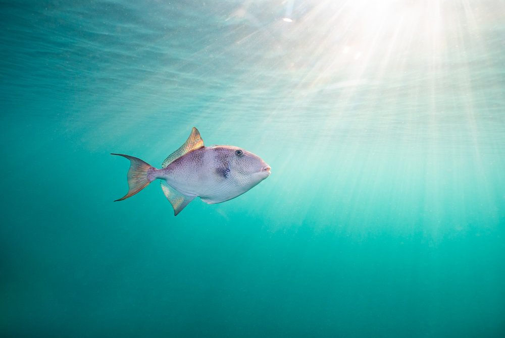 """ Triggerfish ,"" Florida"