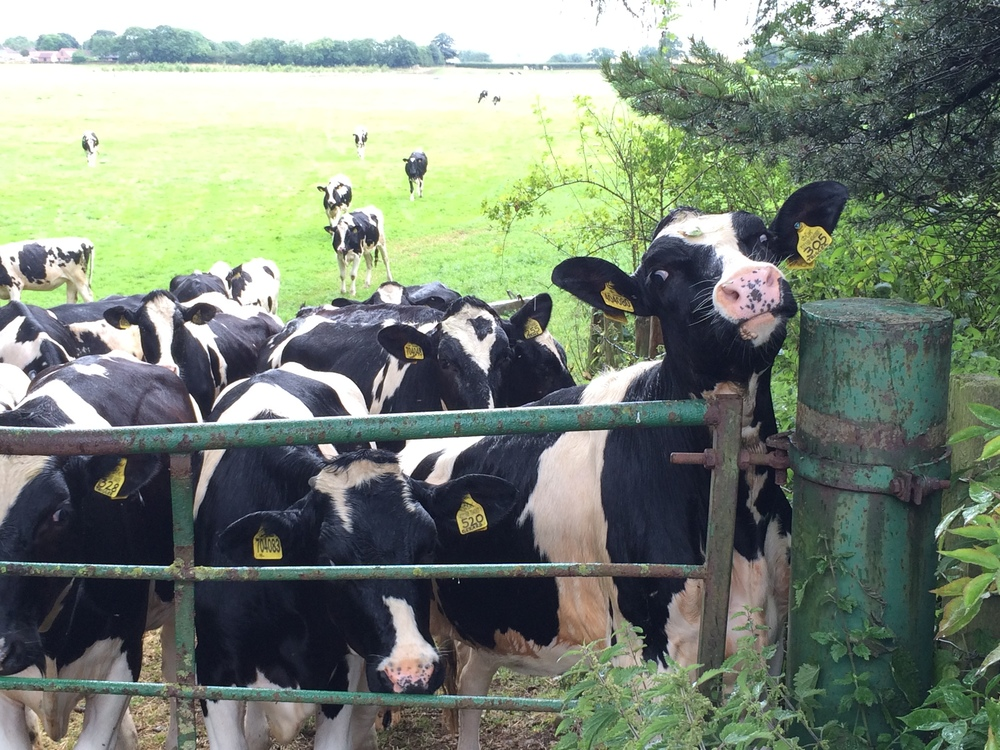 Cows at the gate on the way to Ingleby Arncliffe