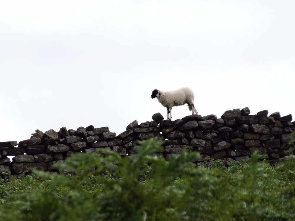 A sheep on the Moor