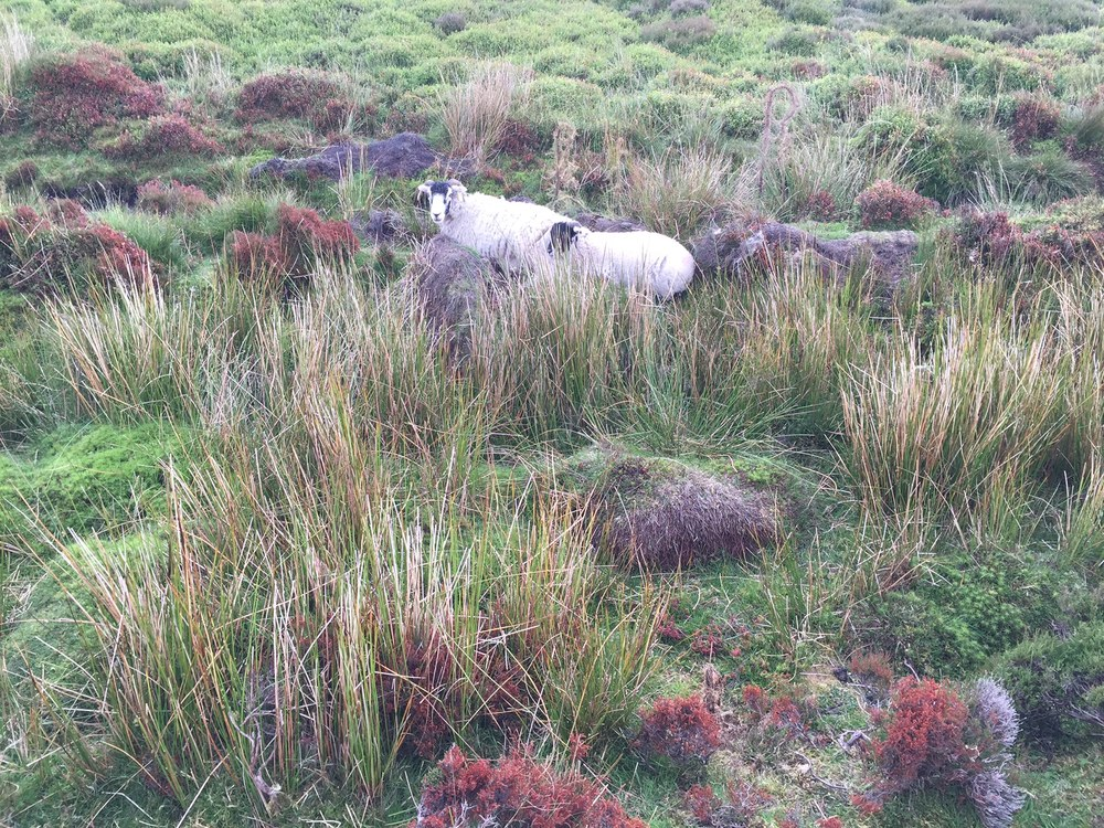 Moorish Vegetation….and sheep