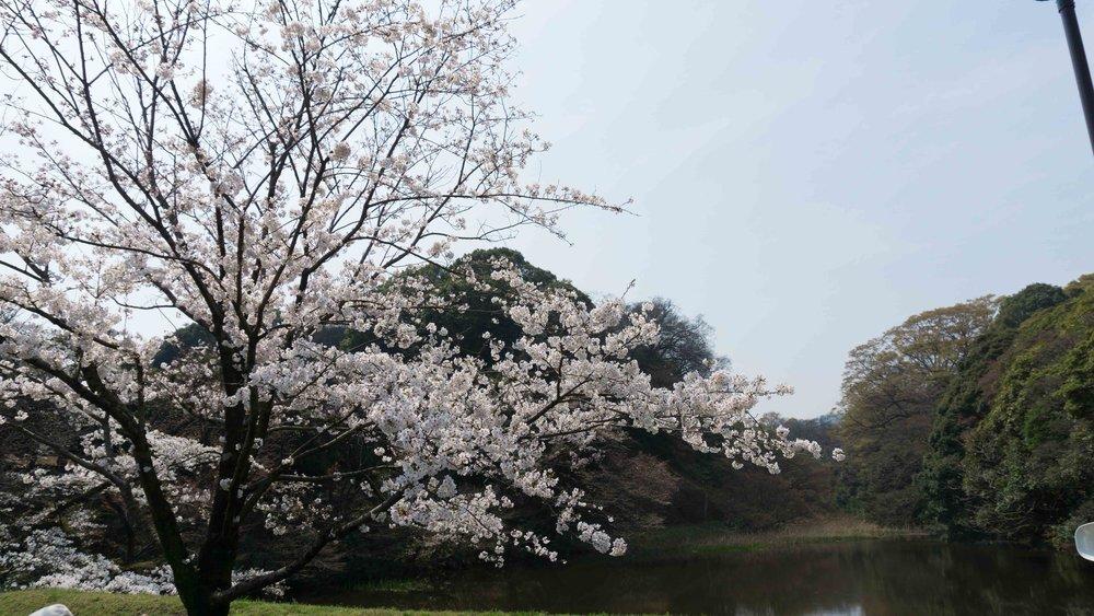 Tokyo cherry blossom scene