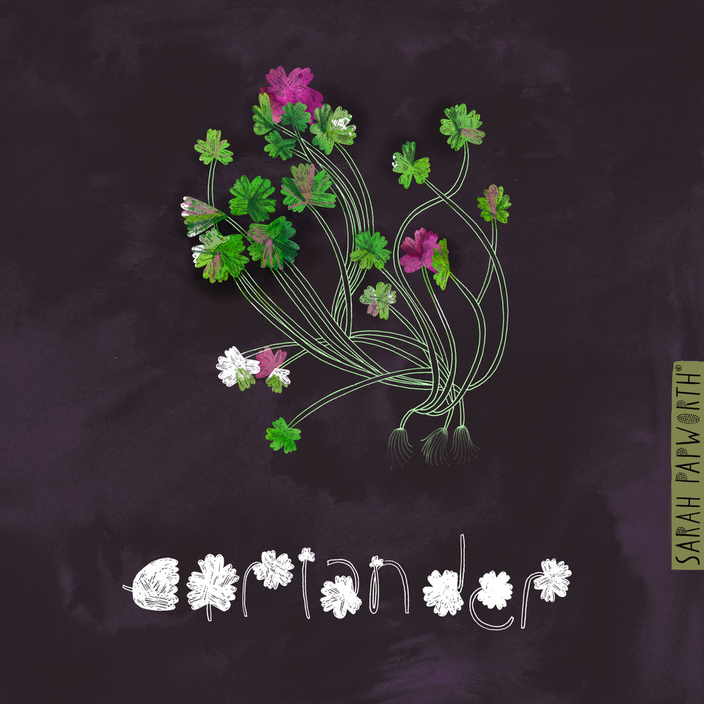 corriander plant vegetable herb illustration editorial art sarah papworth design.jpg