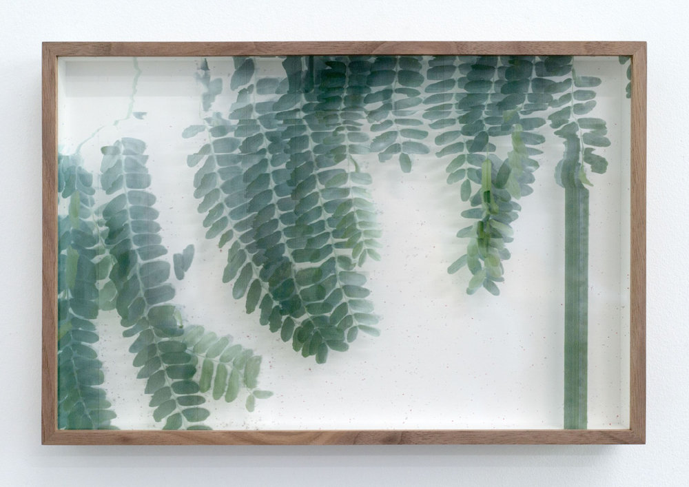 Adrien Missika   Botanical Frottage - Irma (Oaxaca series) , 2017 Manual scans of live vegetation directly printed on glass, American walnut frame 8 5/8 x 13 x 1 3/8 in - 22 x 33 x 3,5 cm